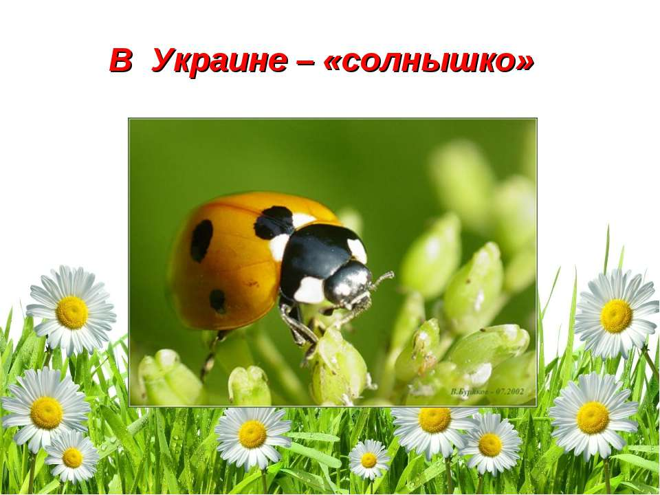 В Украине – «солнышко»