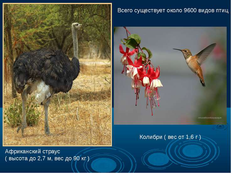 Африканский страус ( высота до 2,7 м, вес до 90 кг ) Колибри ( вес от 1,6 г )...
