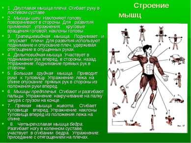 Строение мышц 1. Двуглавая мышца плеча. Сгибает руку в локтевом суставе. 2. М...