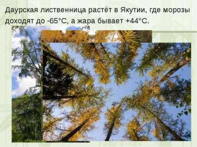 Даурская лиственница растёт в Якутии, где морозы доходят до -65°С, а жара быв...