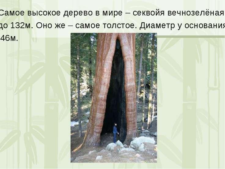 Самое высокое дерево в мире – секвойя вечнозелёная, до 132м. Оно же – самое т...