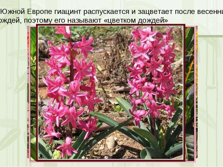 В Южной Европе гиацинт распускается и зацветает после весенних Дождей, поэтом...