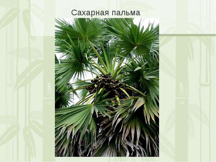 Сахарная пальма