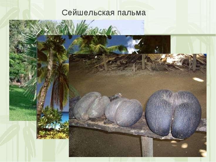 Сейшельская пальма