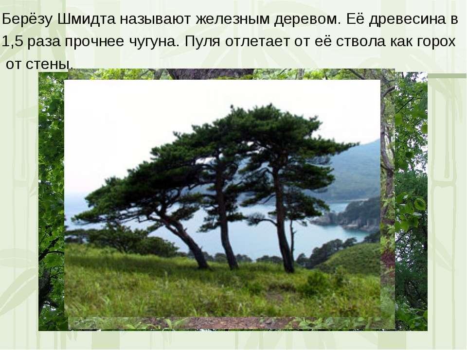 Берёзу Шмидта называют железным деревом. Её древесина в 1,5 раза прочнее чугу...
