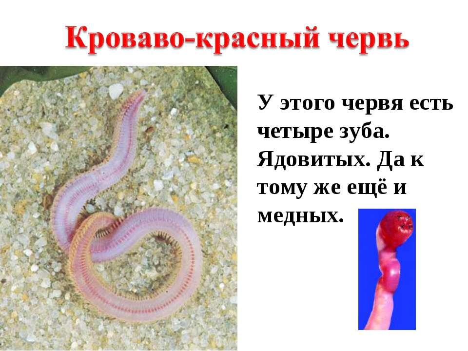 У этого червя есть четыре зуба. Ядовитых. Да к тому же ещё и медных.