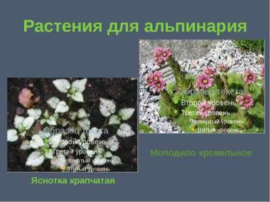 Растения для альпинария Яснотка крапчатая Молодило кровельное