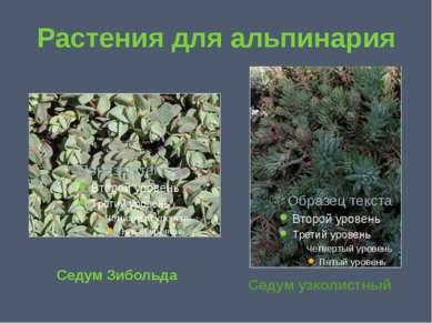 Растения для альпинария Седум Зибольда Седум узколистный