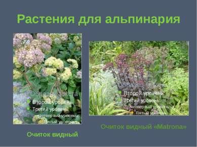 Растения для альпинария Очиток видный Очиток видный «Matrona»