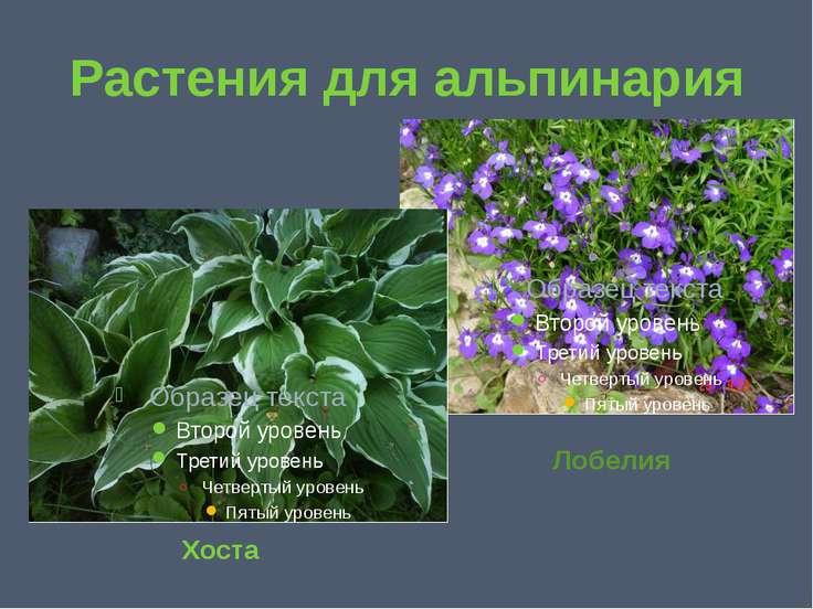 Растения для альпинария Хоста Лобелия