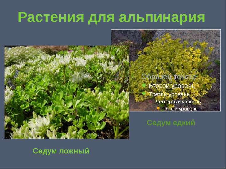 Растения для альпинария Седум ложный Седум едкий