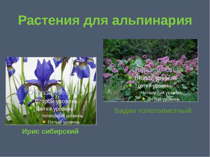 Растения для альпинария Ирис сибирский Бадан толстолистный