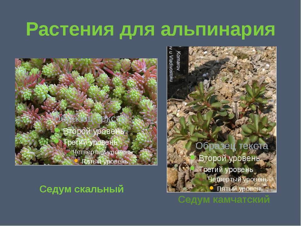 Растения для альпинария Седум скальный Седум камчатский