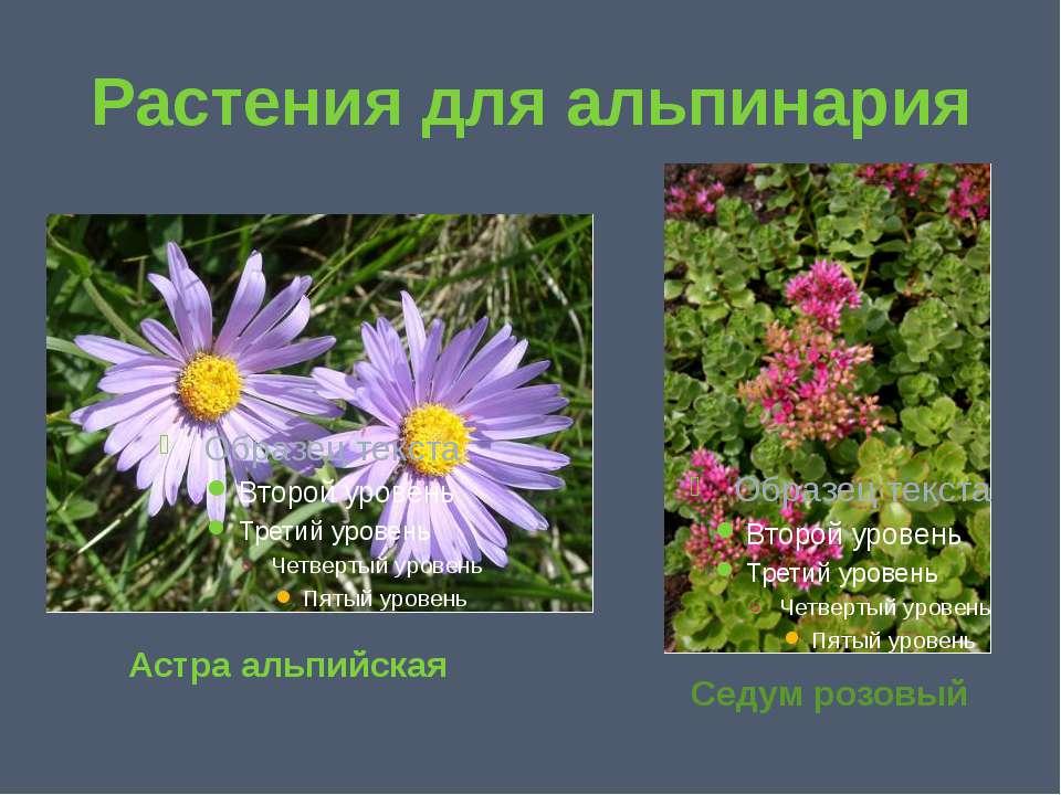 Растения для альпинария Астра альпийская Седум розовый