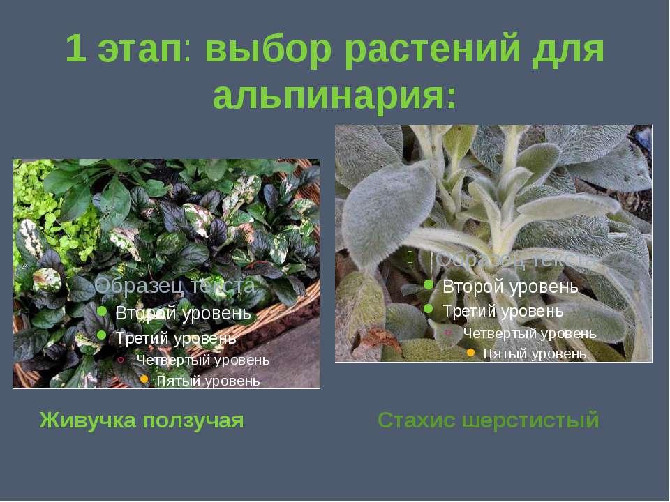 1 этап: выбор растений для альпинария: Живучка ползучая Стахис шерстистый
