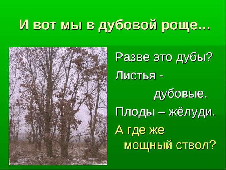 И вот мы в дубовой роще… Разве это дубы? Листья - дубовые. Плоды – жёлуди. А ...