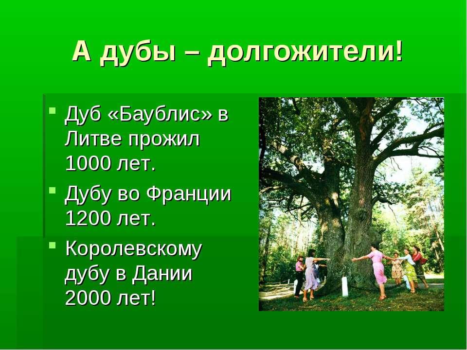 А дубы – долгожители! Дуб «Баублис» в Литве прожил 1000 лет. Дубу во Франции ...