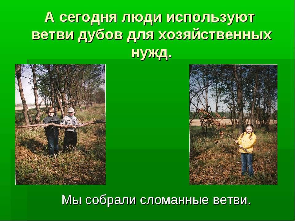 А сегодня люди используют ветви дубов для хозяйственных нужд. Мы собрали слом...