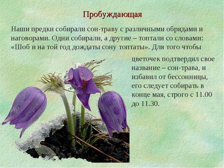 Пробуждающая Наши предки собирали сон-траву с различными обрядами и наговорам...