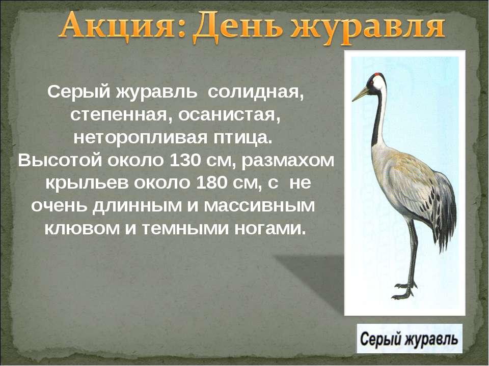 Серый журавль солидная, степенная, осанистая, неторопливая птица. Высотой око...