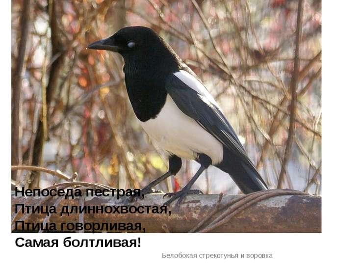Белобокая стрекотунья и воровка Непоседа пестрая, Птица длиннохвостая, Птица ...