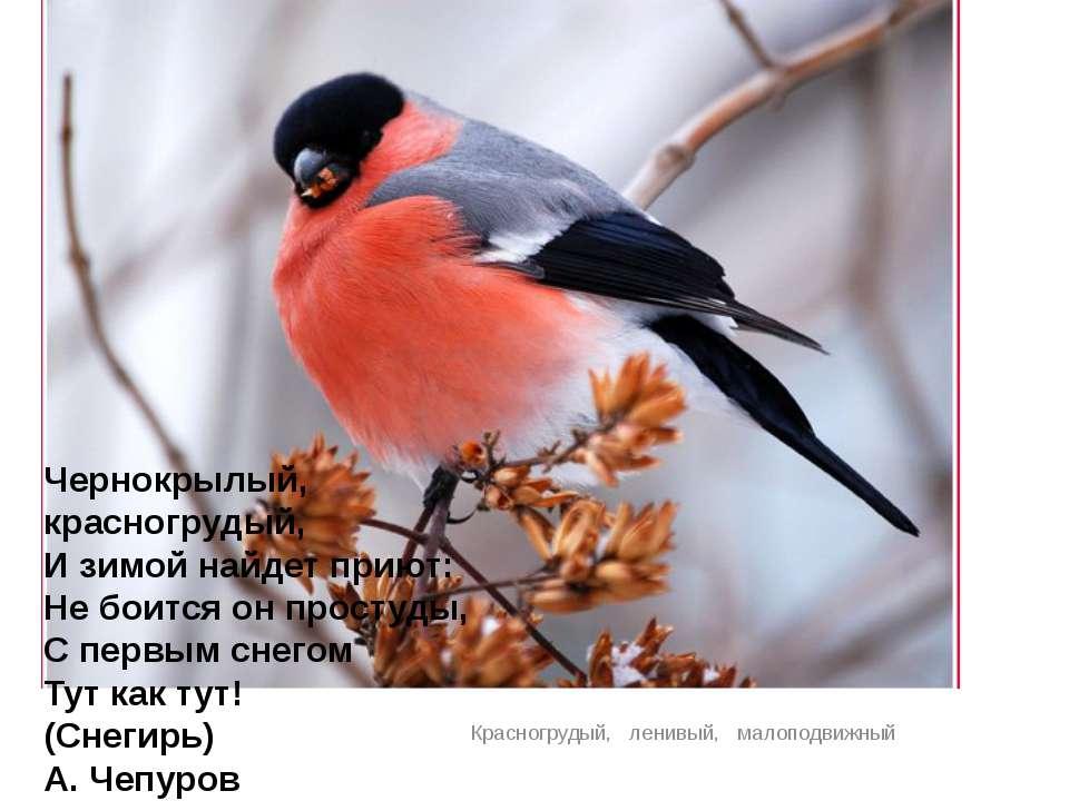 Красногрудый, ленивый, малоподвижный Чернокрылый, красногрудый, И зимой н...