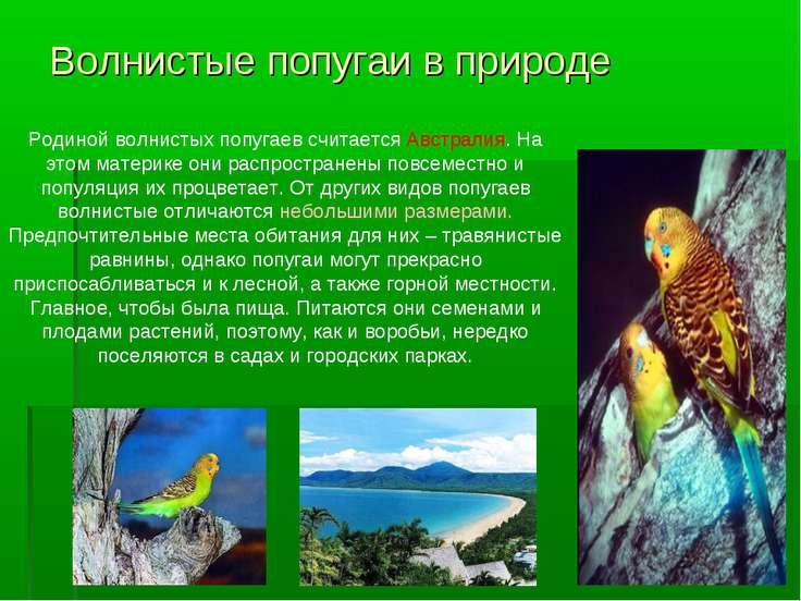 Волнистые попугаи в природе Родиной волнистых попугаев считается Австралия. Н...