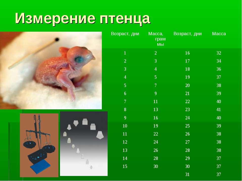 Измерение птенца Возраст, дни Масса, граммы Возраст, дни Масса 1 2 16 32 2 3 ...
