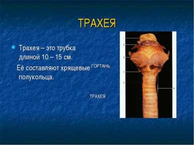 ТРАХЕЯ Трахея – это трубка длиной 10 – 15 см. Её составляют хрящевые полуколь...