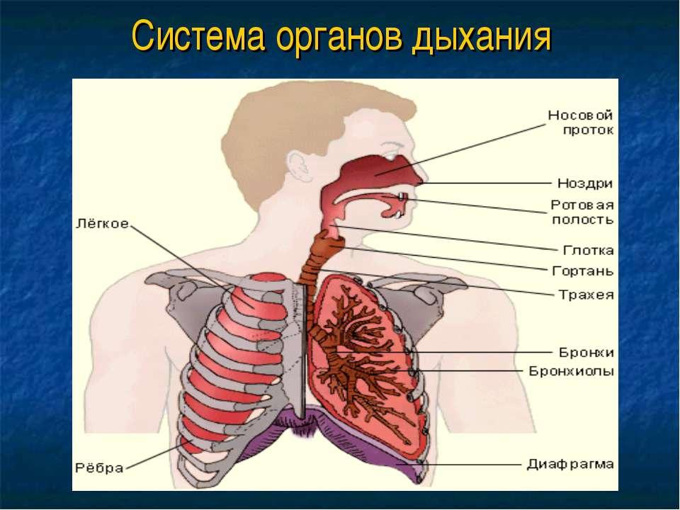 Система органов дыхания