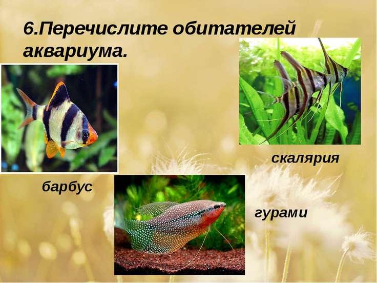 6.Перечислите обитателей аквариума. барбус скалярия гурами