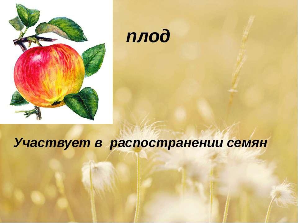 плод Участвует в распостранении семян