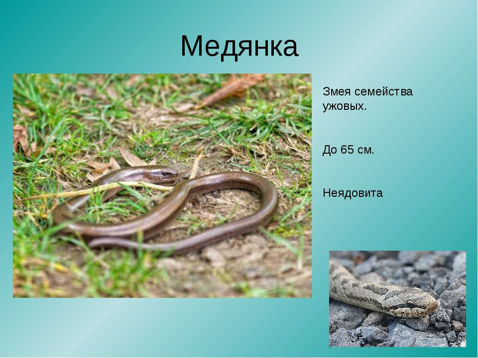 Медянка Змея семейства ужовых. До 65 см. Неядовита