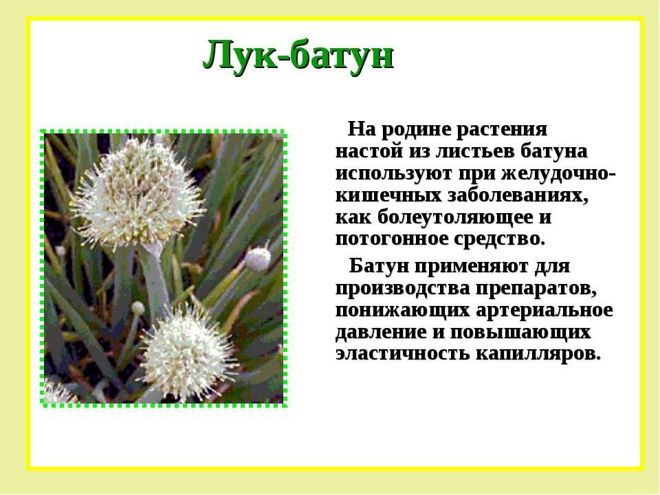 На родине растения настой из листьев батуна используют при желудочно-кишечных...