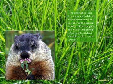 The groundhog, also known as a woodchuck (Marmota monax), is a member of the ...