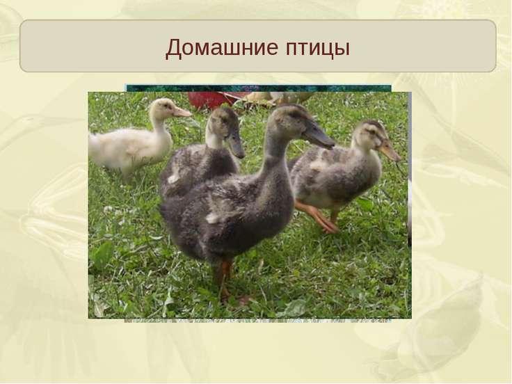 Домашние птицы Пекинские утки, московские белые, украинские Быстро растут, к ...