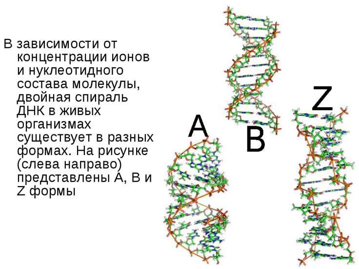 В зависимости от концентрации ионов и нуклеотидного состава молекулы, двойная...