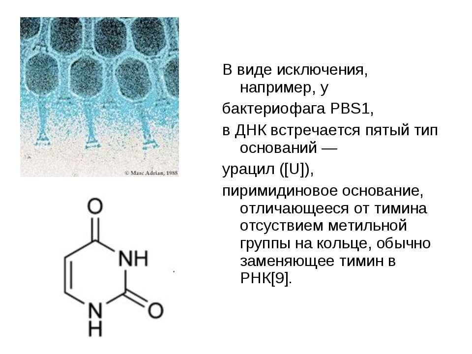 В виде исключения, например, у бактериофага PBS1, в ДНК встречается пятый тип...