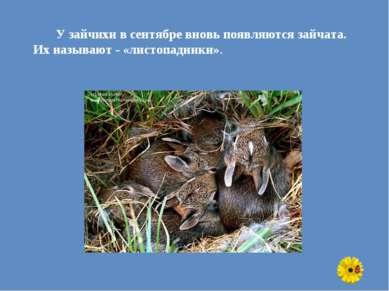 У зайчихи в сентябре вновь появляются зайчата. Их называют - «листопадники».