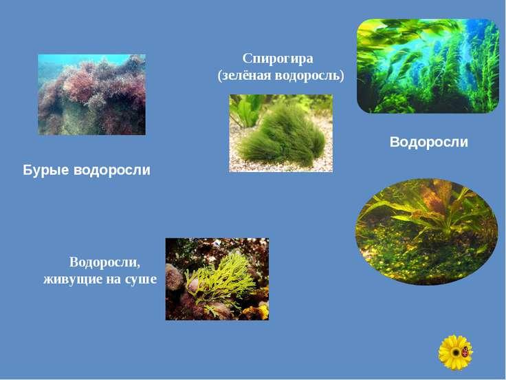 Бурые водоросли Спирогира (зелёная водоросль) Водоросли, живущие на суше Водо...