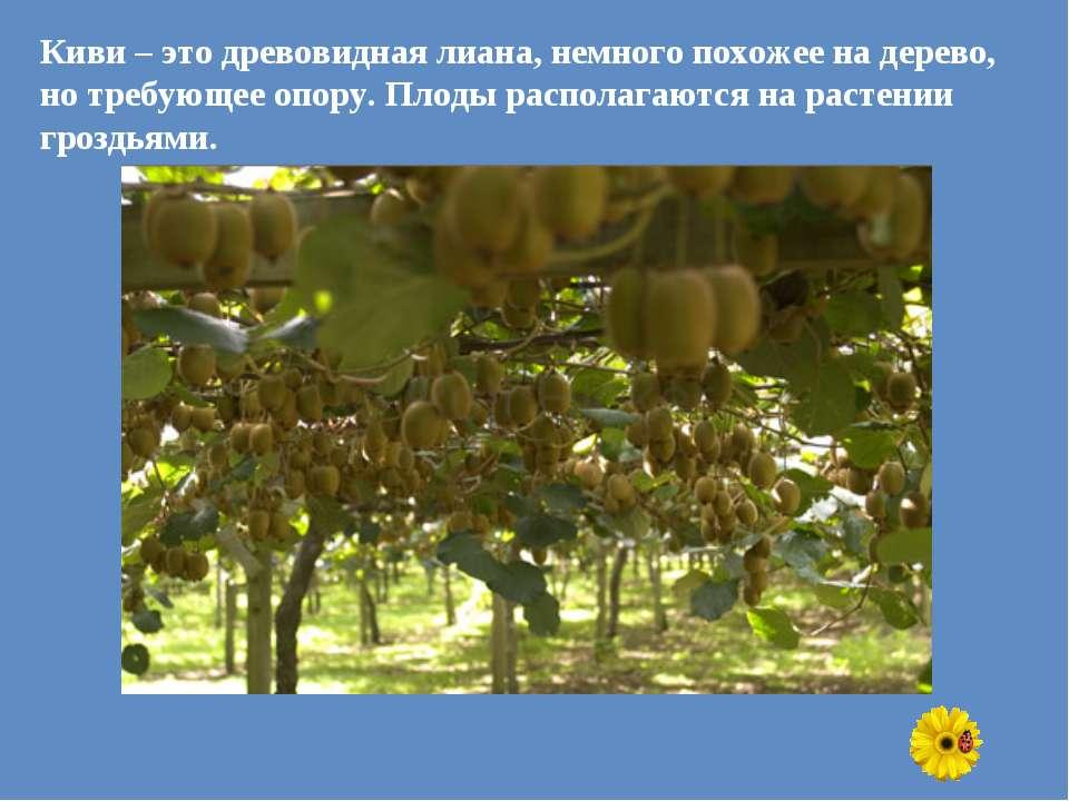 Киви – это древовидная лиана, немного похожее на дерево, но требующее опору. ...