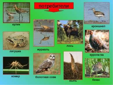 потребители кулик лягушка комар журавль болотная сова выпь бекас куропатка ло...
