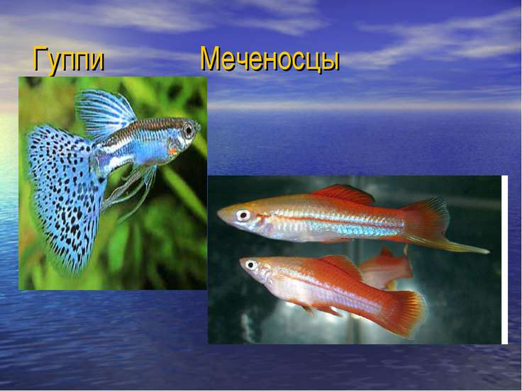 Гуппи Меченосцы