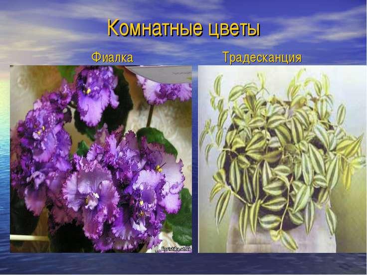 Комнатные цветы Фиалка Традесканция
