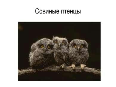 Совиные птенцы