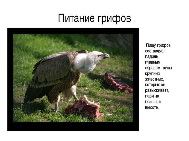 Питание грифов Пищу грифов составляет падаль, главным образом трупы крупных ж...