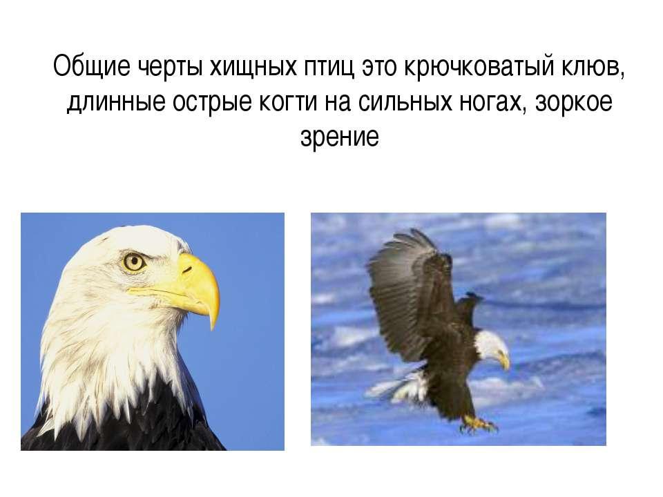 Общие черты хищных птиц это крючковатый клюв, длинные острые когти на сильных...