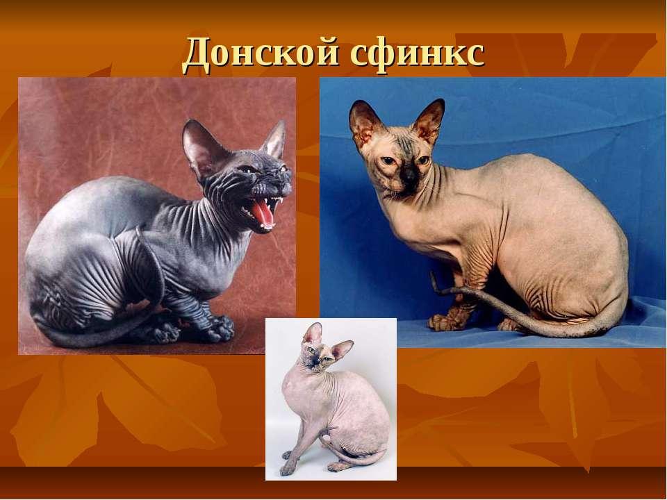 Донской сфинкс