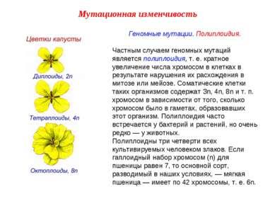 Геномные мутации. Полиплоидия. Частным случаем геномных мутаций является поли...