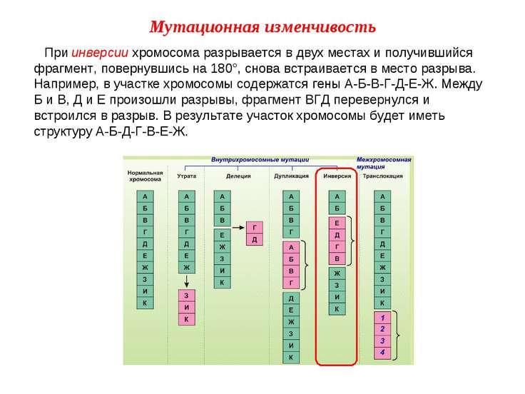 При инверсии хромосома разрывается в двух местах и получившийся фрагмент, пов...
